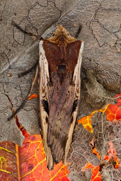 Dot & Dash Swordgrass Moth