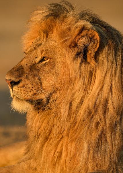 Golden-locks-Lion-Ndutu-Tanzania.jpg
