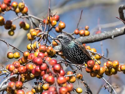 Starlings,  29 November 2018
