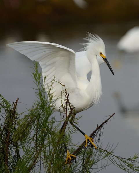 Snowy Egret landing Black Point Wildlife Drive Merritt Island NWR, Florida December 2012