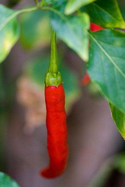 Pepper, Red Pepper