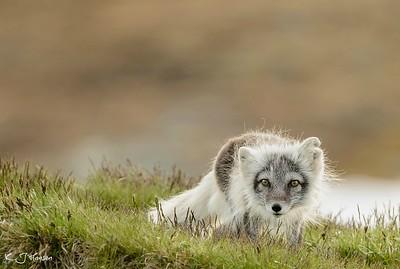 Arctic fox(fjellrev)