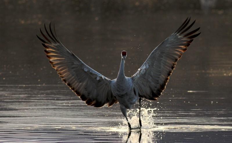 Sandhill Crane Backlit crane spread wings_0007052.jpg