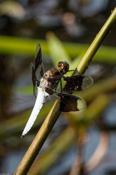 Common Whitetaile