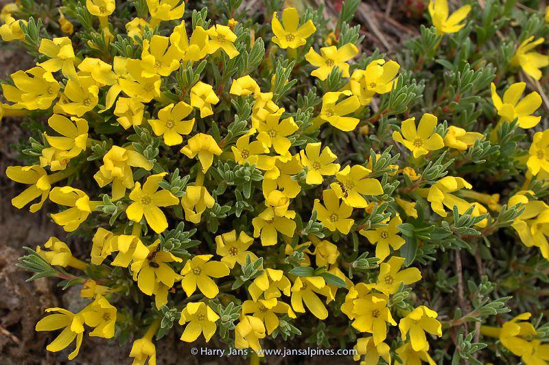 Vitaliana primuliflora (Androsace vitaliana)