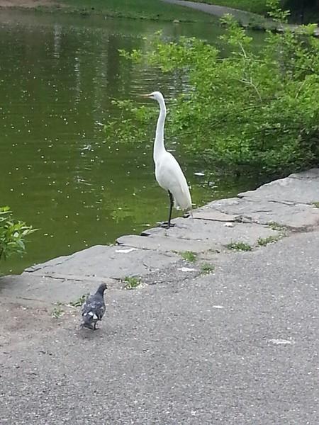 white crane at GoosePond.jpg