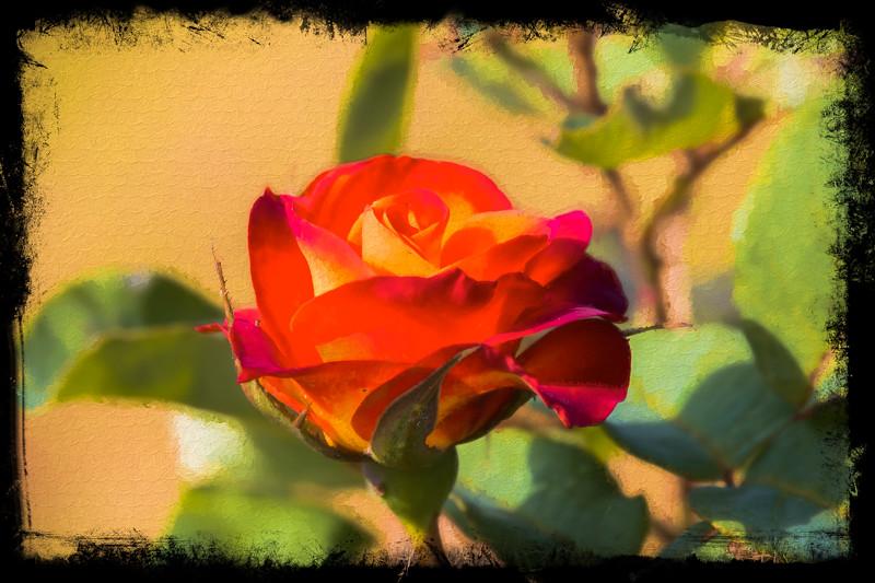 June 24 - Summer rose.jpg
