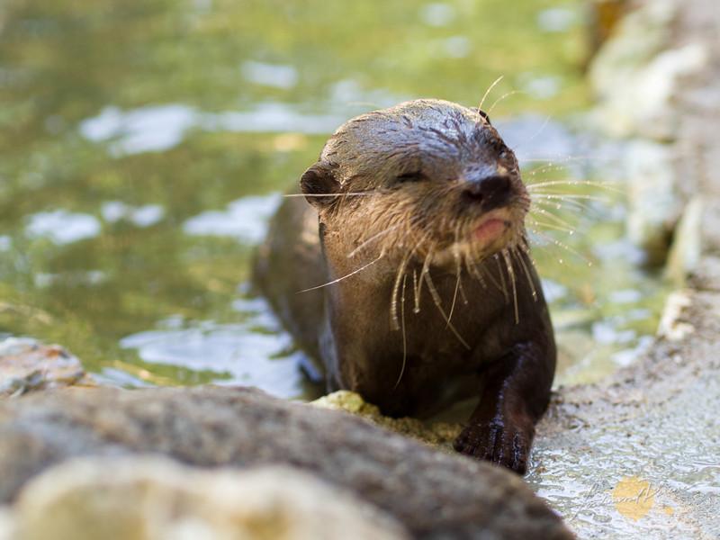An unexpected companion, Olly, a Palawan otter