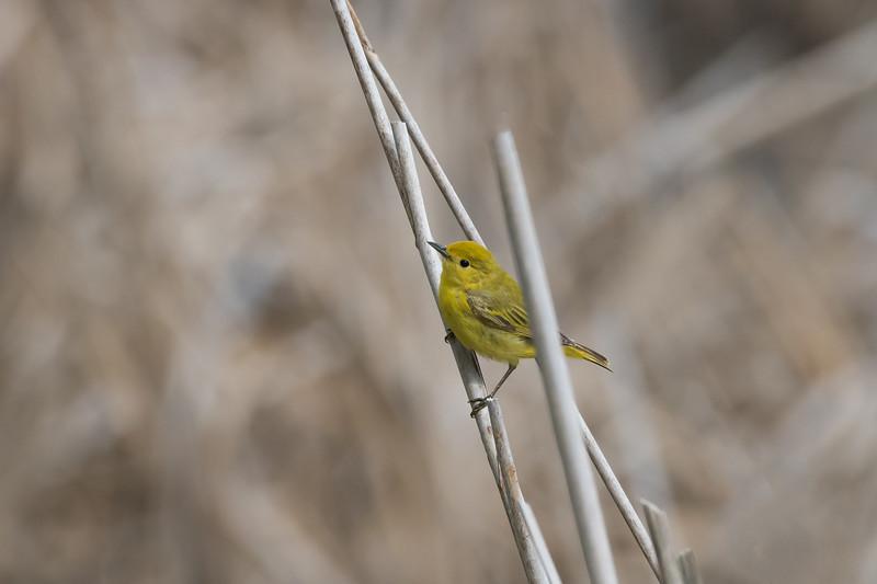 Yellow warbler female / Paruline jaune femelle