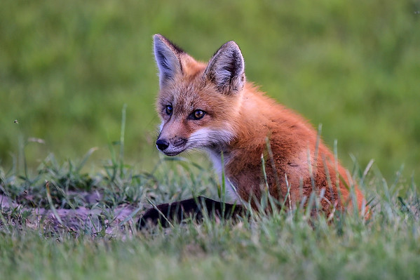 6-23-15 Red Fox Pup In The Evening Light
