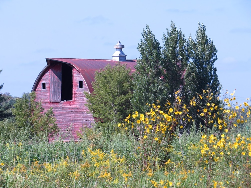WORN RED BARN SURROUNDED BY YELLOW RUDEBEKIA, OR BROWN-EYED SUSANS