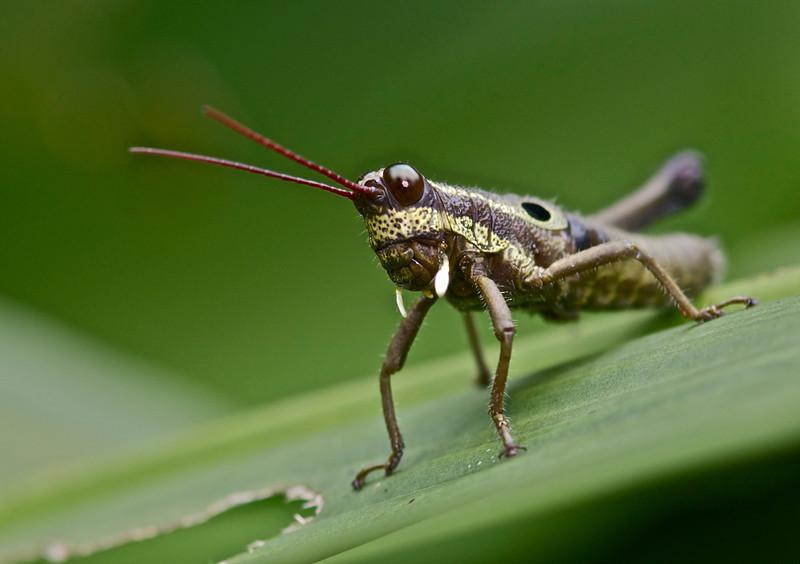 Acridid Short-Horned Grasshopper (Ommatolampis perpiscillata)