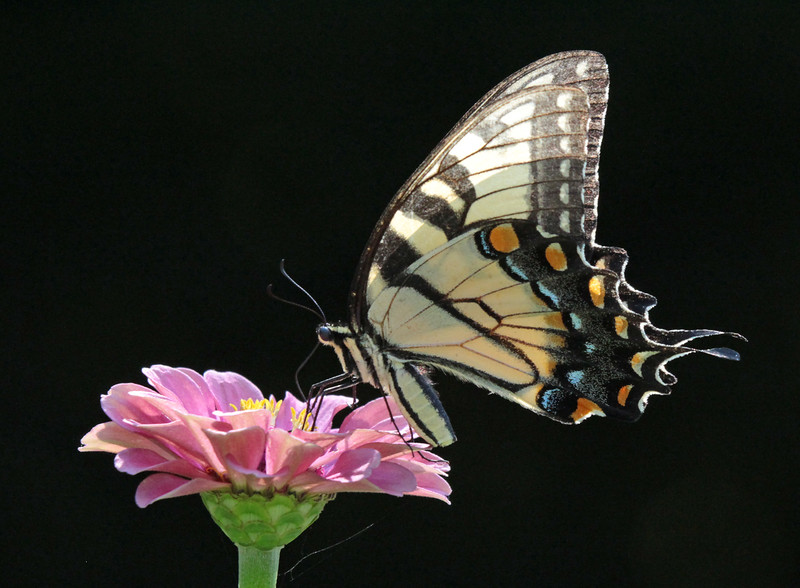 Swallowtail on pink flower