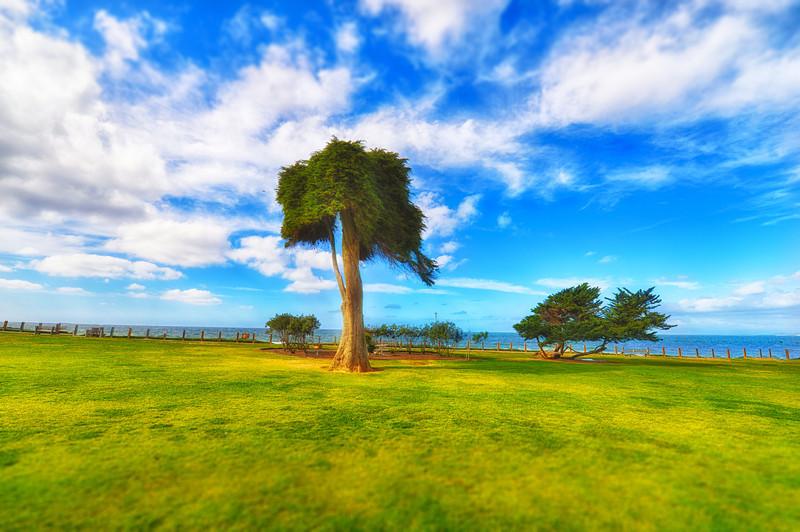 Suess Tree La Jolla