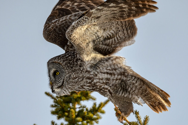 4-3-18 Great Gray Owl - The Dive