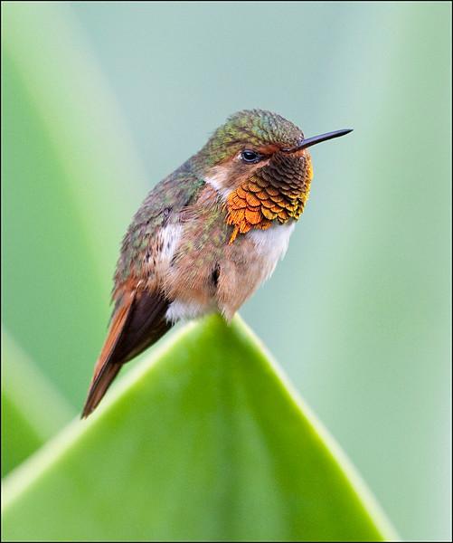 Volcano Hummingbird.jpg