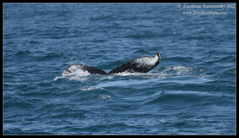 Humpback Whale tail fluke, Whale watching trip, San Diego County, California, April 2012
