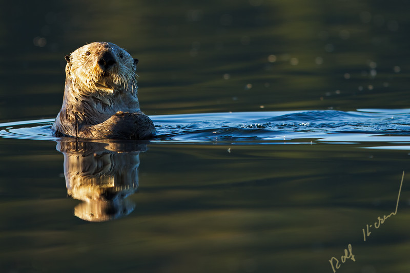 Sea otter, Enhydra lutris, belongs to the weasel family, photographed of the west coast of northern Vancouver Island, British Columbia, Canada.