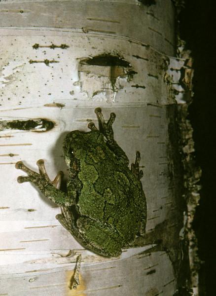 Gray Treefrog (Hyla versicolor) Pigeon Lake, Bayfield Co., WI, 1965