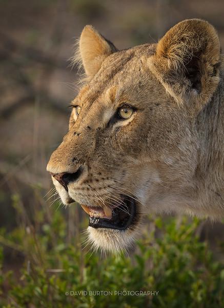 Lion_3099cc2fx-web.jpg