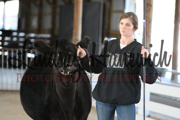 Limousin Preview Show Ringshots