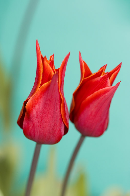 tulips delicate easter red cyan blue green soft by Jeff Arthur