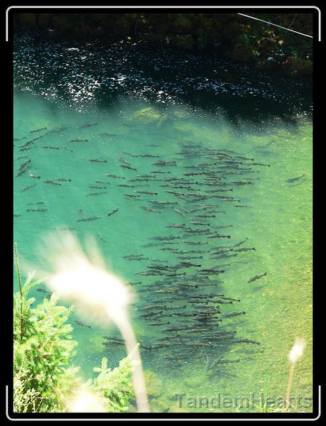 """These salmon were a 100 feet below us, trying to swim upstream. No luck for them, the river was blocked by a dam and fishery. These guys and gals were just holding in place, like they were waiting for the """"salmon singles bar"""" to open."""