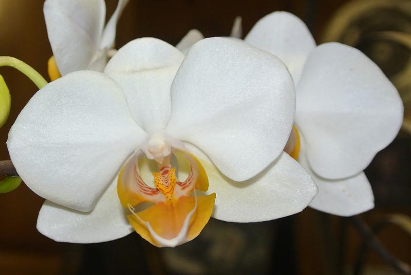 2013-05-05 Orchid 'Remi' 06.jpg