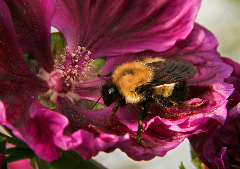 Bumblebee, Fairbanks, Alaska.