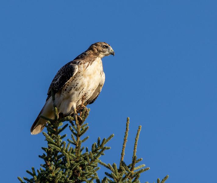 Red-tailed Hawk CR7 Sax-Zim Bog MN 0I7A0053-2.jpg