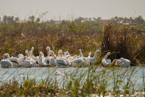 Pelicans_DWL5857.jpg