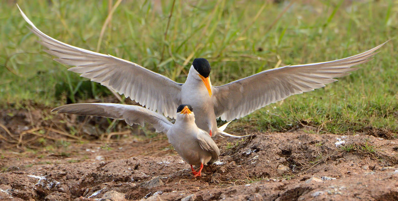 River-terns-dance-of-a-pair.jpg