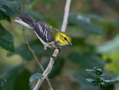 Blackthroated Green Warbler