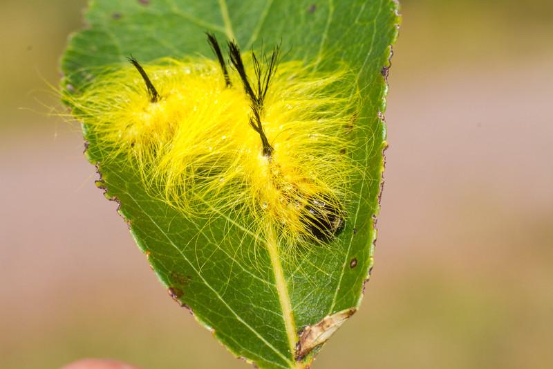 Acronicta lepusculina Cottonwood Dagger Moth caterpillar Admiral Road Gravel Pit Sax-Zim Bog MN IMG_5184.jpg