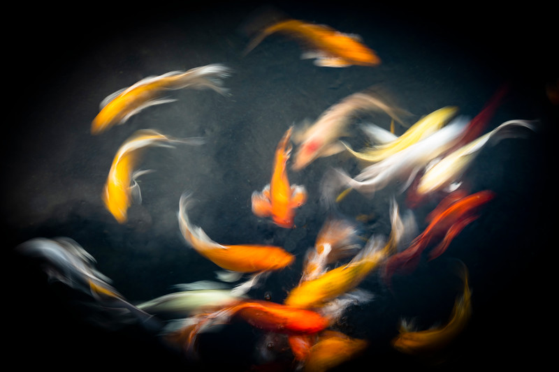 Koi Movement