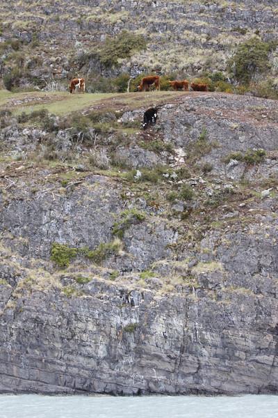 precarious cows