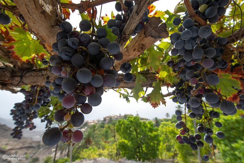 Grape - Wakan village - Nakhal213- Oman.jpg