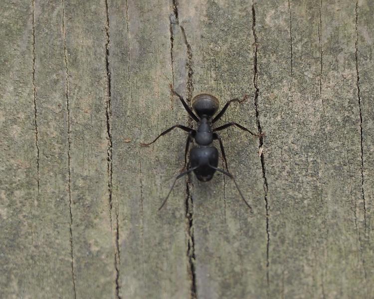 (Eastern) Black Carpenter ant - Camponotus pennsylvanicus