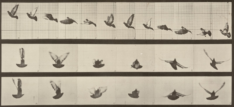 Pigeon flying (Animal Locomotion, 1887, plate 755)