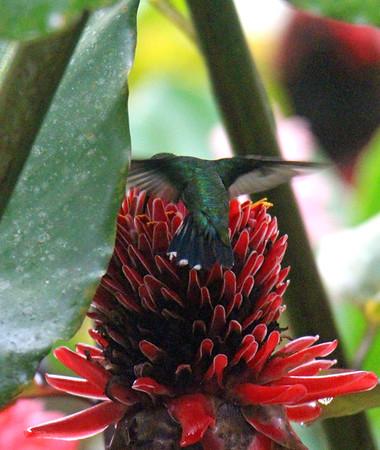 Hummingbird, Green-breasted Mango