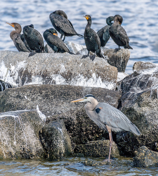 Cormorants and Blue Heron