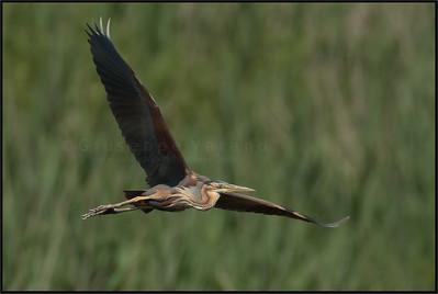 Purple Heron - Airone rosso ( Ardea purpurea ) - Parco Oglio sud wetlands -Italy