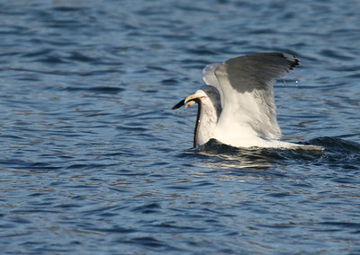 Gull with Eel, Long Island, NY 12-27-09