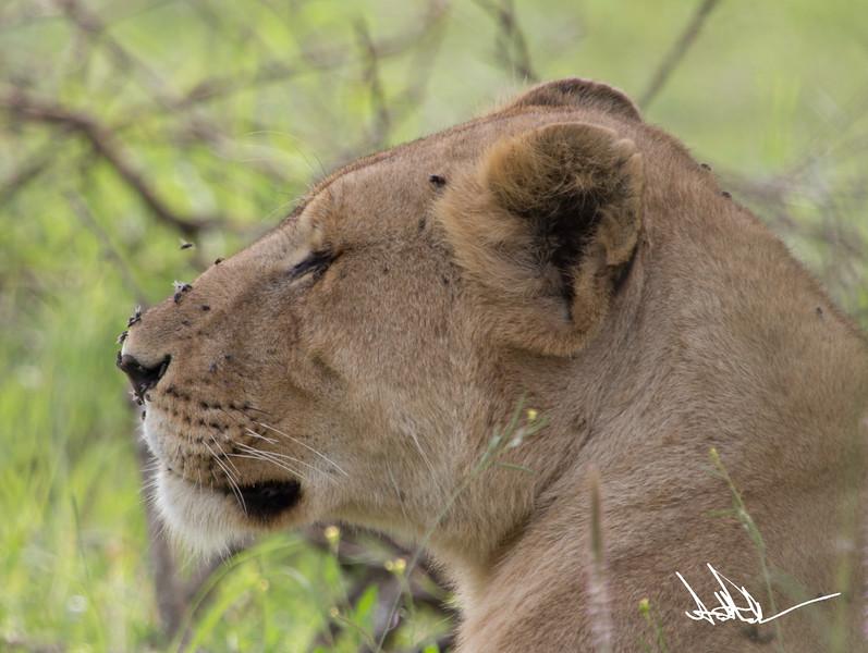 Lions Serengeti - S-1.jpg