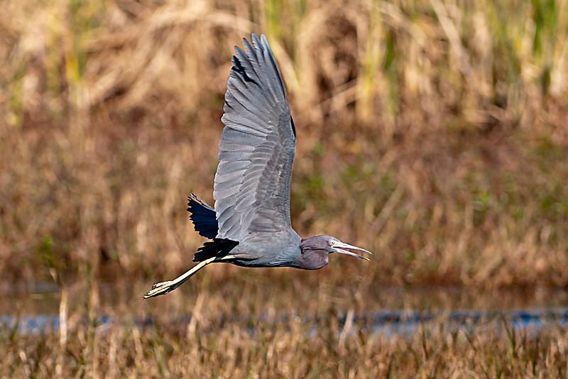 Heron - Little Blue -  Lake Toho - Kissimmee, FL