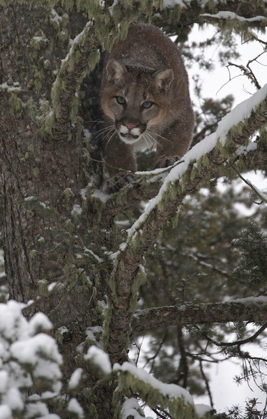 Mtn Lion coming around tree to decend centered vertical.jpg
