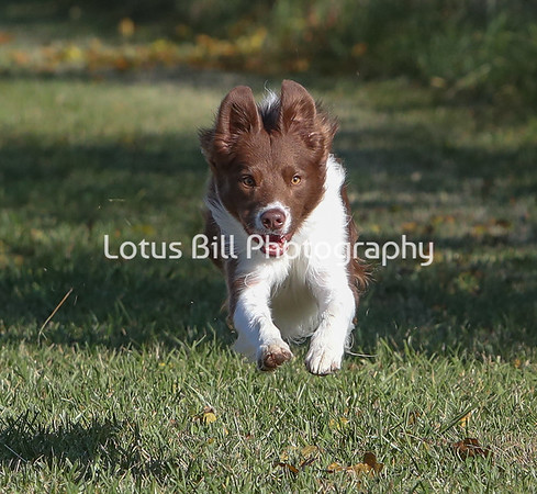 Red Bi Border Collie SR31