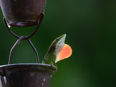American Green Anole