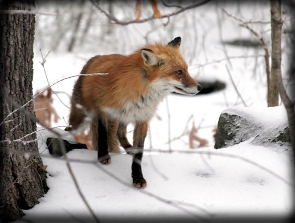 Wintertime Fox