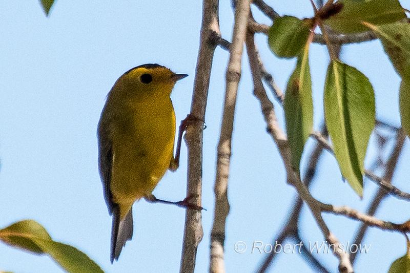 Wilson's Warbler, Cardellina pusilla, La Plata County, Colorado, USA, North America